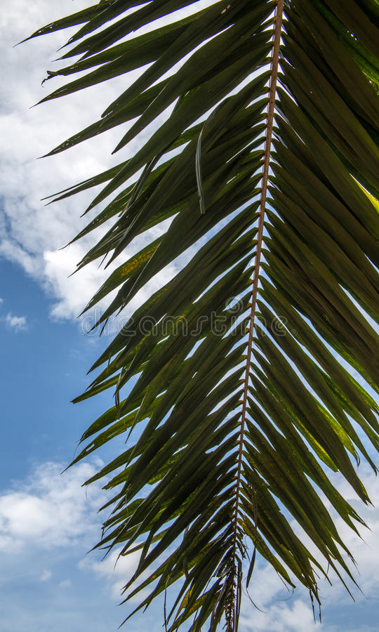 Branch of a palm tree royalty free stock photos
