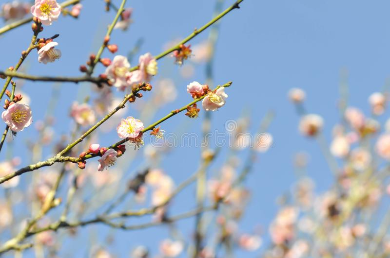 Branch or peach tree or peach flower royalty free stock photography