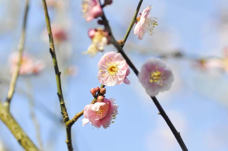 Branch or peach tree or peach flower stock images