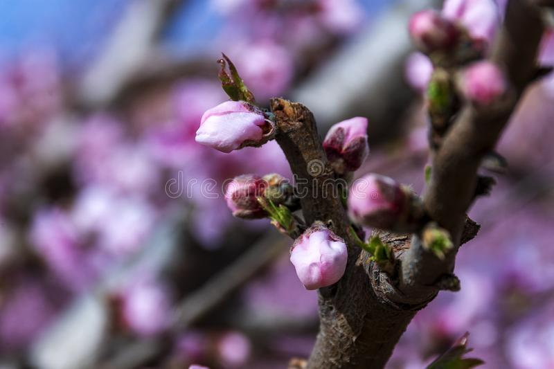 Branch of peach tree with pink flowers and buds. Close-up. sunny day. Prunus persica royalty free stock images