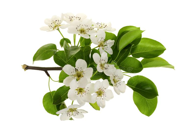 Branch with pear flowers isolated on white background. Top view. Flat lay royalty free stock photography