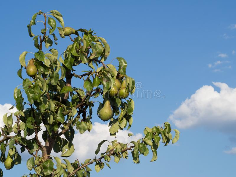 Branch of a pear tree with juicy pears growing, blue sky with clouds stock photography