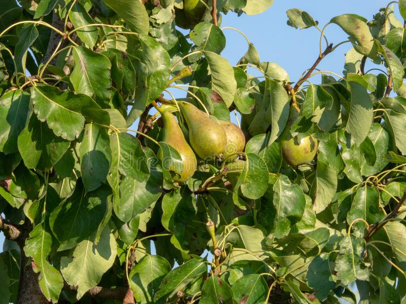 Branch of a pear tree with juicy pears growing royalty free stock photo