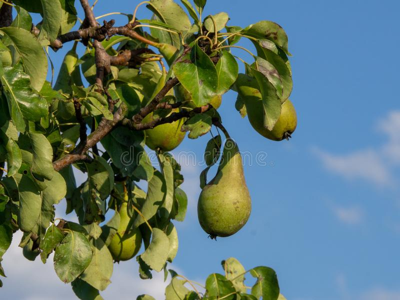 Juicy pears growing on a tree, healthy fruit royalty free stock photos