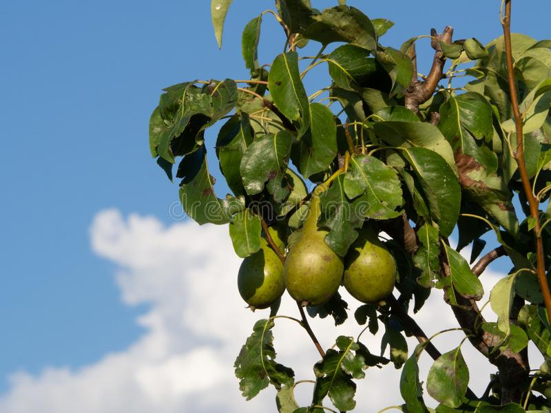 Branch of a pear tree with some healthy pears growing, blue sky with clouds royalty free stock photo