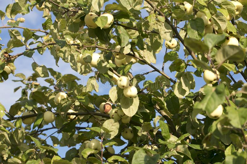 Branch of pena apples, tasty growing in the sun stock image