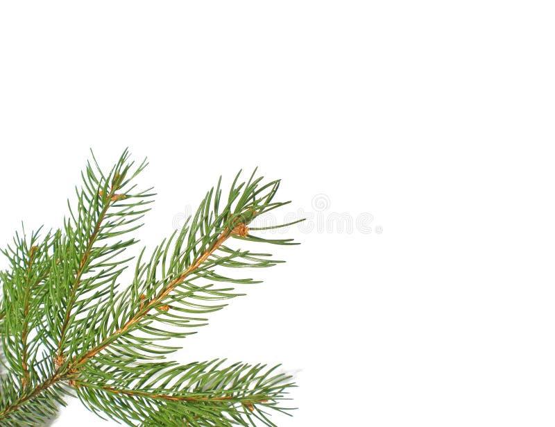 Branch Pine Δωρεάν Στοκ Εικόνα