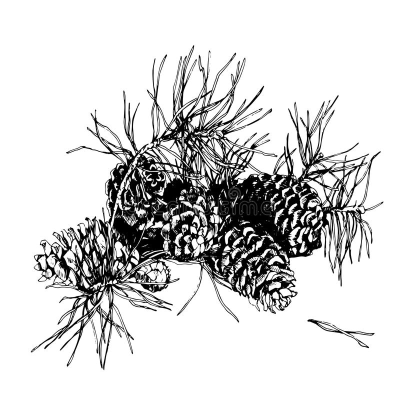 Branch of pine with cone. Hand drawn image. stock images