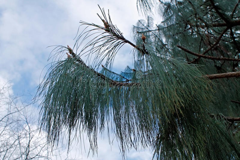 The branch of a pine with long needles. royalty free stock photography