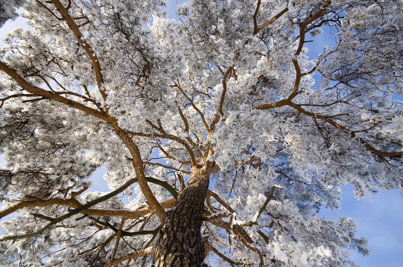 Download Branch of a pine-tree stock image. Image of natural, sunlight - 18035059
