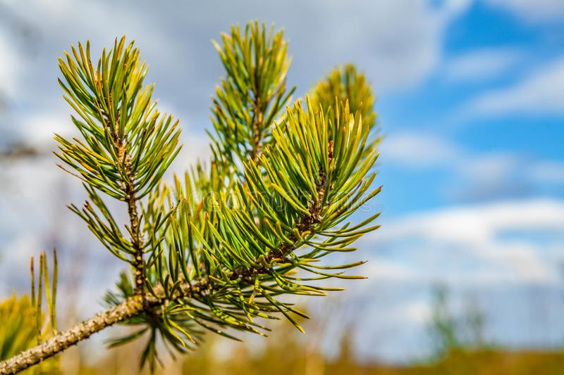 The branch of pine tree against blue sky.  stock photos