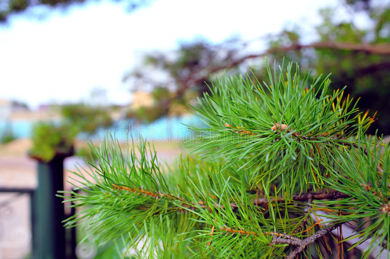 Branch of the pine tree in the backyard of house. royalty free stock image