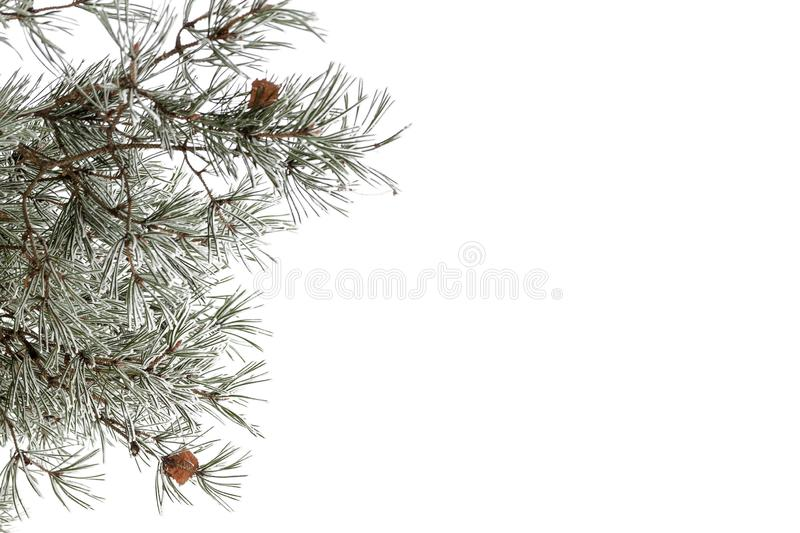 The branch of a pine tree in the snow.  stock photography