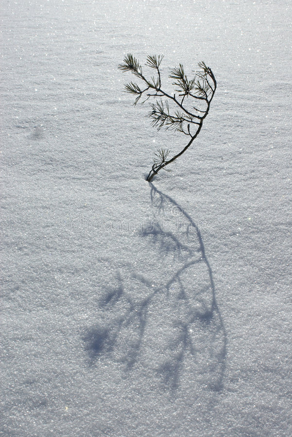 Branch of pine tree in snow with shadow royalty free stock photography
