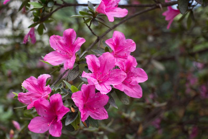 A branch of pink azaleas. Blooming flowers royalty free stock photos