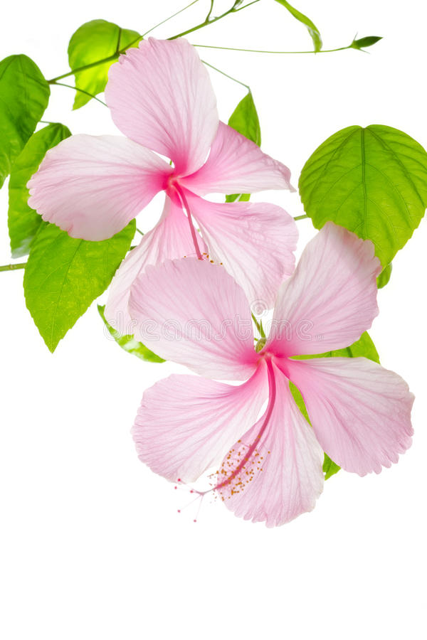 Branch pink hibiscus flower isolated on white stock photo