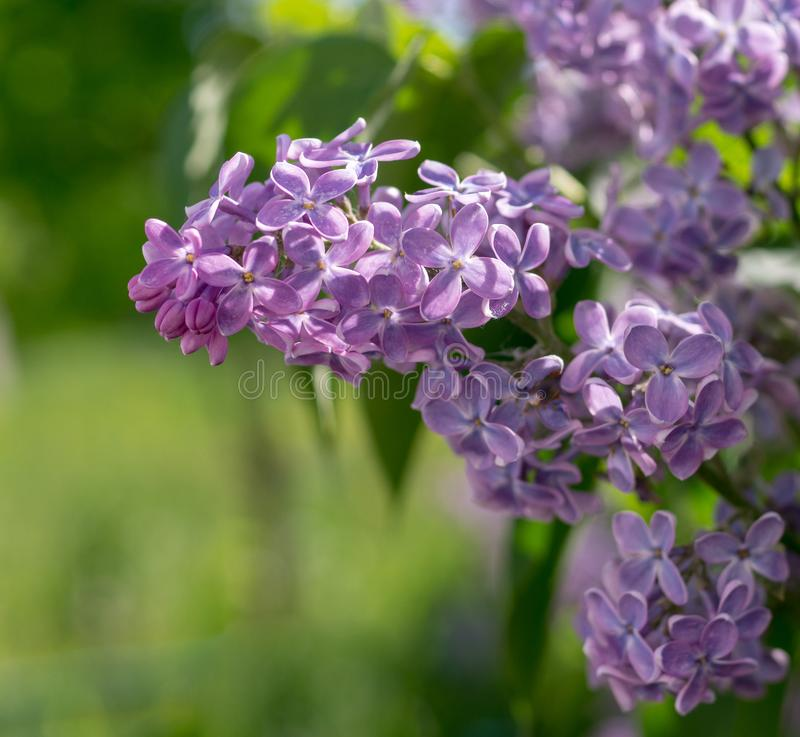 Branch with pink purple spring lilac flowers. nature, botanical. Branch with pink purple spring lilac flowers. nature, botanical stock images