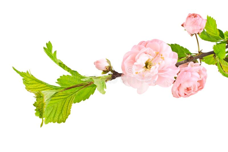 Branch of pink rose bush isolated on white background. Branch of pink rose bush isolated on a white background royalty free stock photos