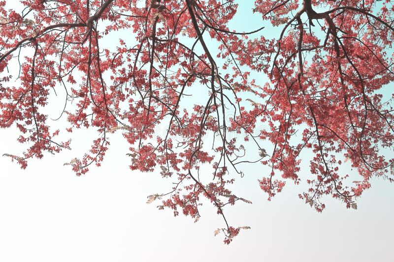 Branch of Pink Shower or Cassia grandis tree  on sky background. Close up Branch of Pink Shower or Cassia grandis tree  on sky background stock photo