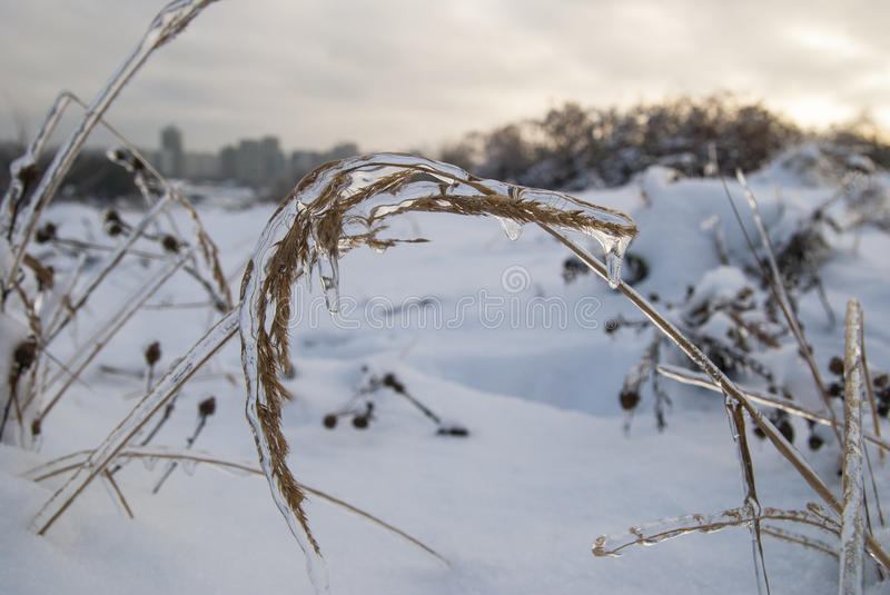 Branch of plant in the ice. Snowy winter landscape royalty free stock image