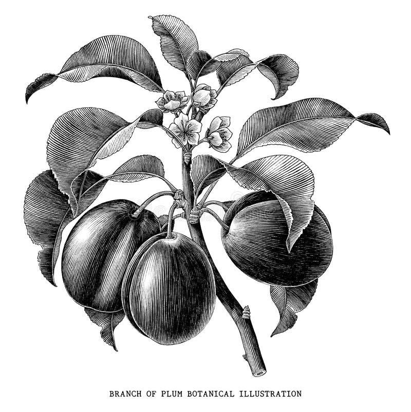 Branch of plum botanical vintage illustration isolated on white. Background royalty free illustration