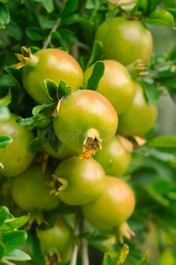 Branch with pomegranate royalty free stock photo