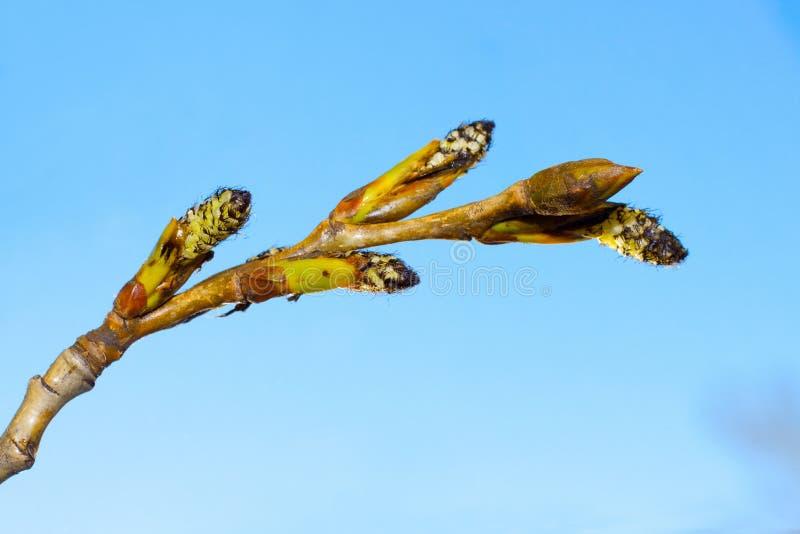 Branch poplar royalty free stock photography