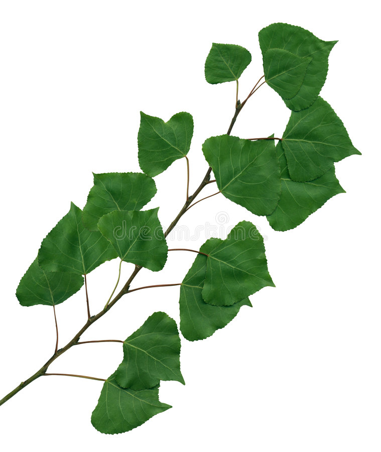 Branch of a poplar stock photo