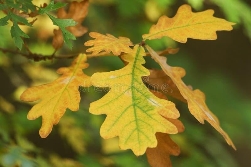 A branch of pretty autumnal Oak leaves in woodland in the UK. A branch of stunning autumnal Oak leaves in woodland in the UK stock photography