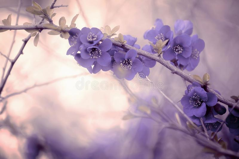 Branch with purple blossoms in pastel ambience. Branch with purple blossoms in pastel and vintage ambience, fine art fantasy stock photography