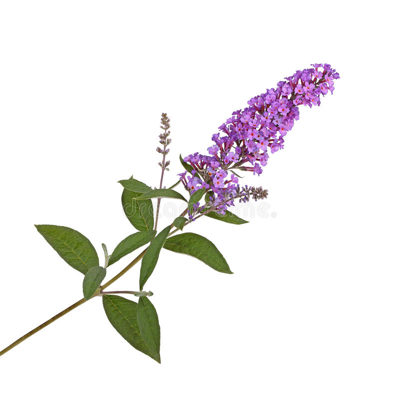 Spray of purple flowers from a butterfly bush against white. Branch with purple flowers of a butterfly bush (Buddleja davidii) isolated against a white royalty free stock images
