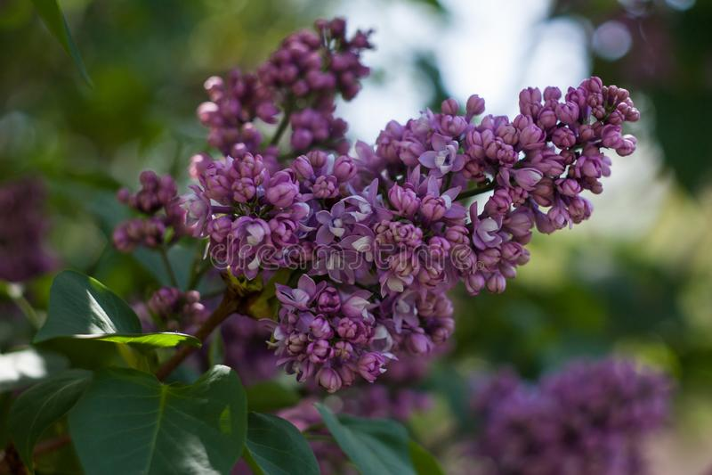 Branch of purple lilac blooms in spring on a sunny day. Natural background stock image