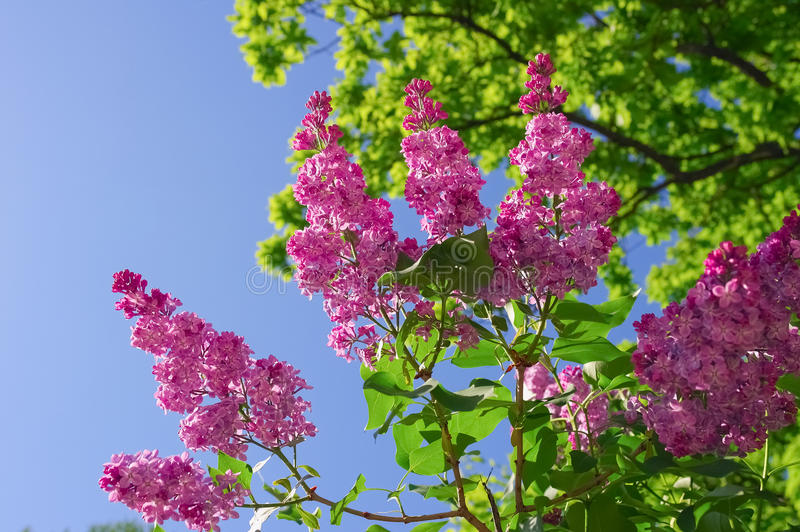 Branch of purple lilac flowers royalty free stock photography