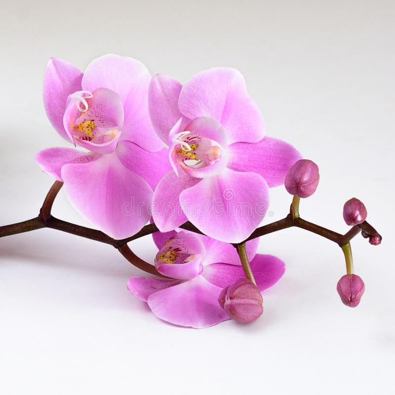 A branch of a purple orchid on a table royalty free stock photography