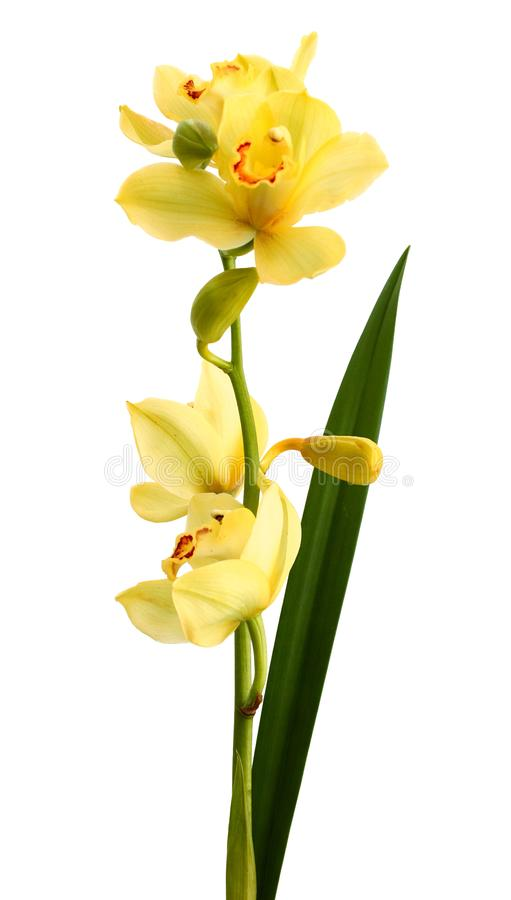 Branch purple and yellow orchid isolated on white background. Color, delicate. Beautiful yellow orchid isolated on white background stock photos
