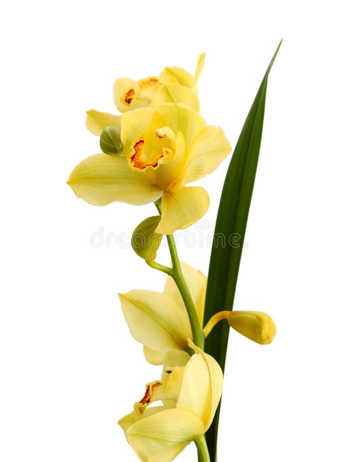 Branch purple and yellow orchid isolated on white background. Color, delicate. Twig of pointed orange orchid is isolated on white background stock image