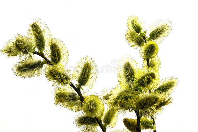Download Branch pussy-willow stock image. Image of blossom, soft - 4970673