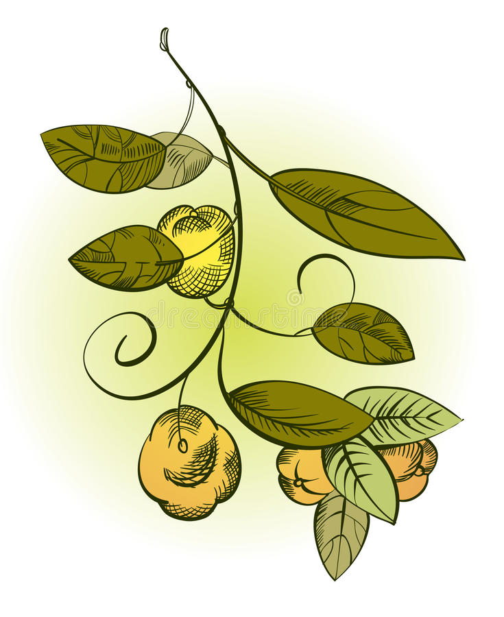 The branch of quince with fruit vector illustration