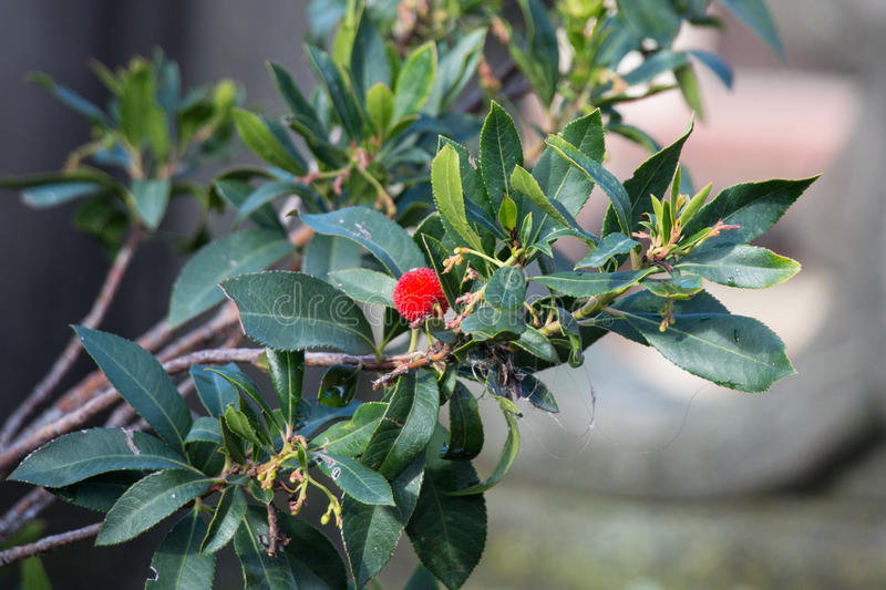 Branch of Rambutan tree with red fruit. stock photography