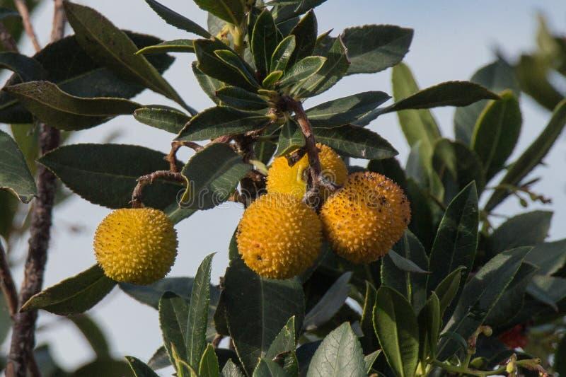 Branch of Rambutan tree with yellow fruits. stock photos