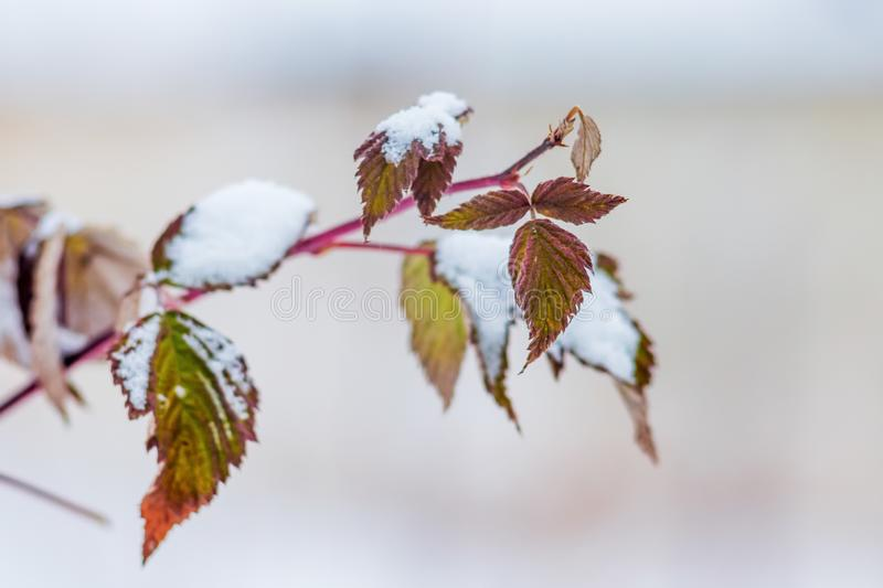 Branch of raspberries with dry leaves, covered with snow. Winter royalty free stock photography