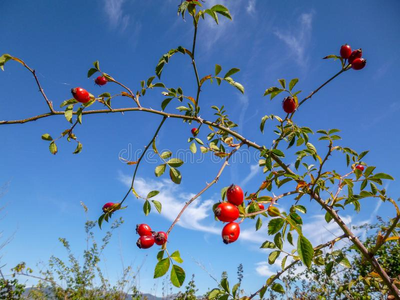 Branch with red berries of wild rose in a vivid blue sky royalty free stock photography