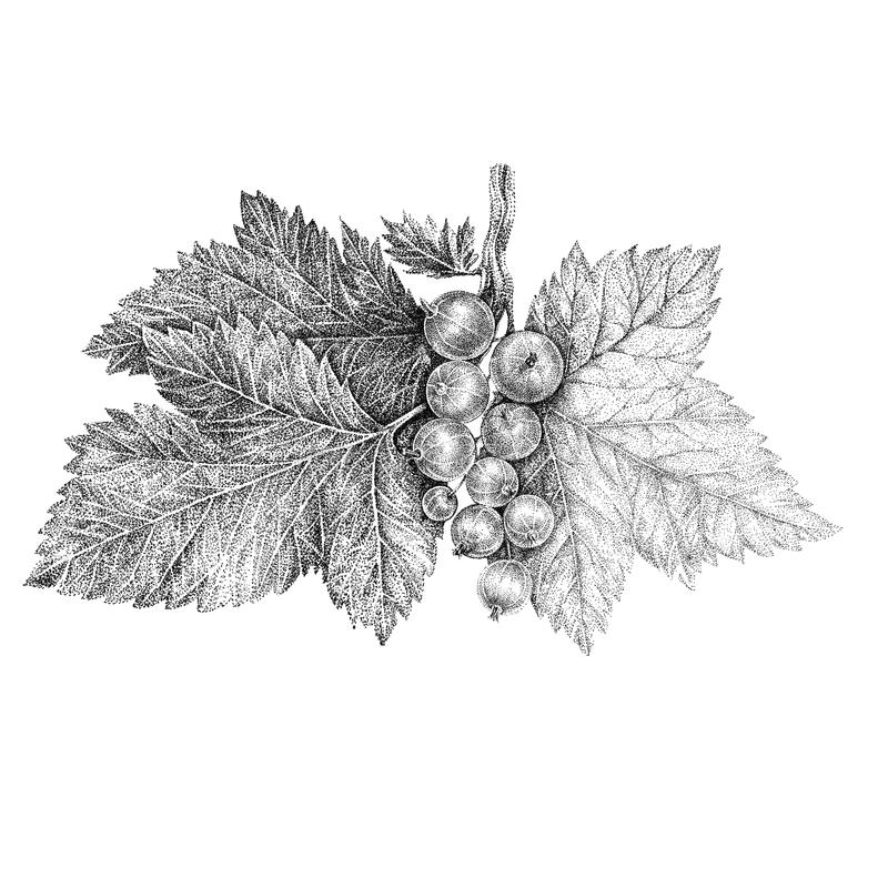 Branch of red, black currant. Hand graphics royalty free illustration