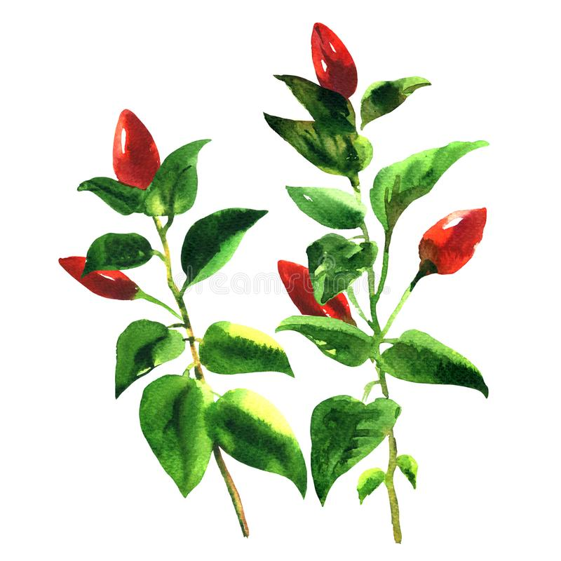 Branch red chili pepper with leaf, spicy vegetables on tree, isolated, watercolor illustration on white. Background vector illustration