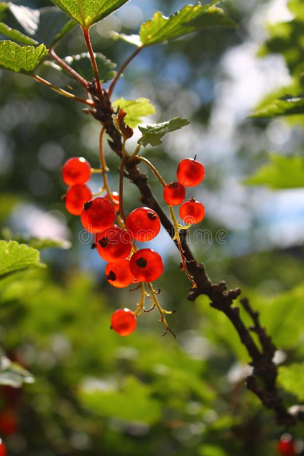 Branch of red currants on a blured natural background royalty free stock photo
