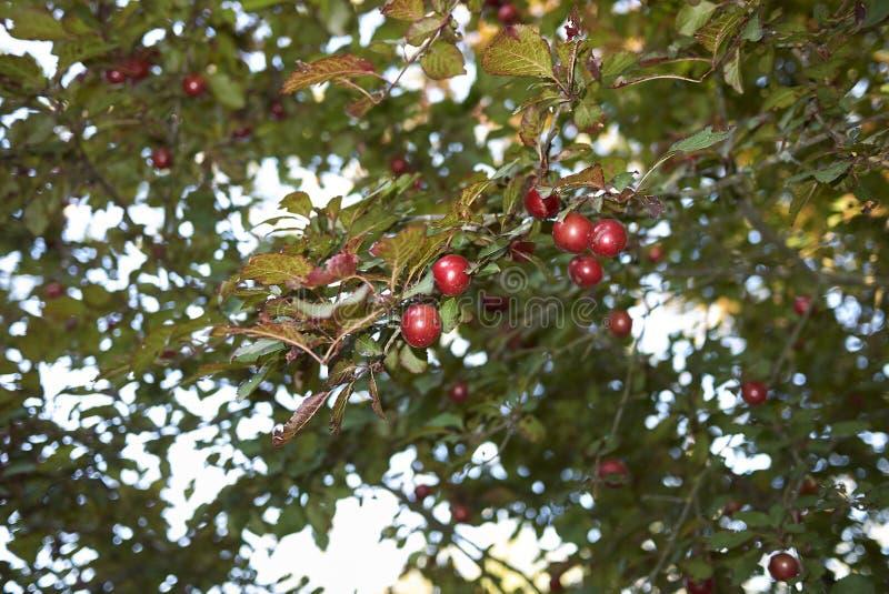 Red plums of Prunus cerasifera nigra tree stock images
