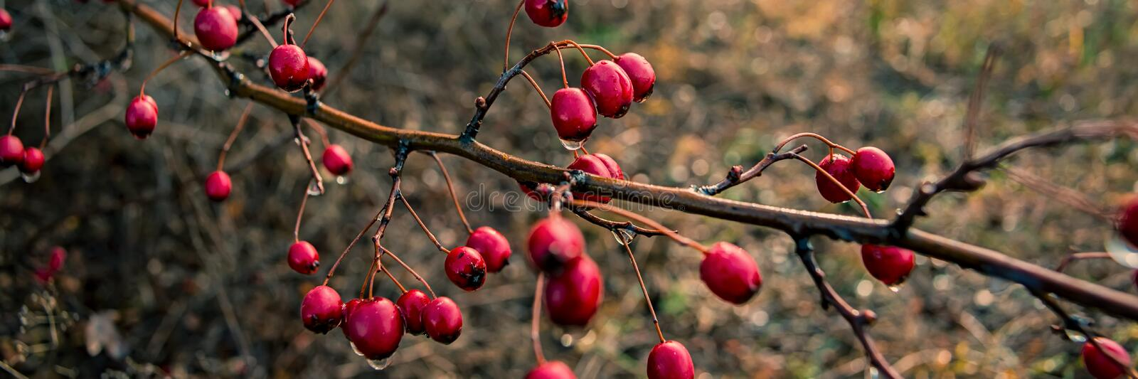 Branch with red hawthorn fruits. Banner for design stock images