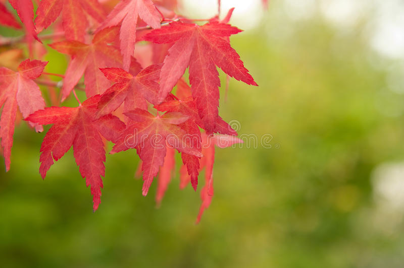 Branch with red leaves royalty free stock photography