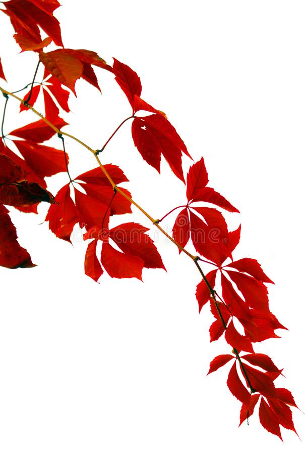 Branch with red leaves stock photography