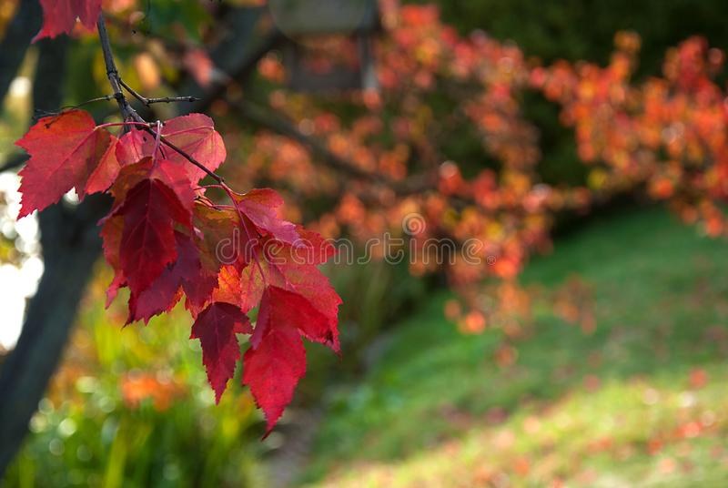 Branch with red leaves stock photo